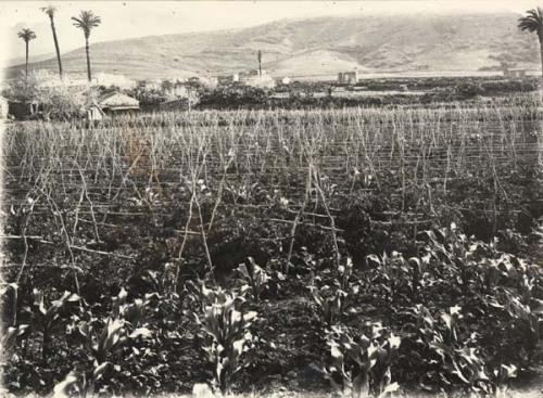 tomateros y orillas de millo